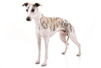 Image result for greyhound akc