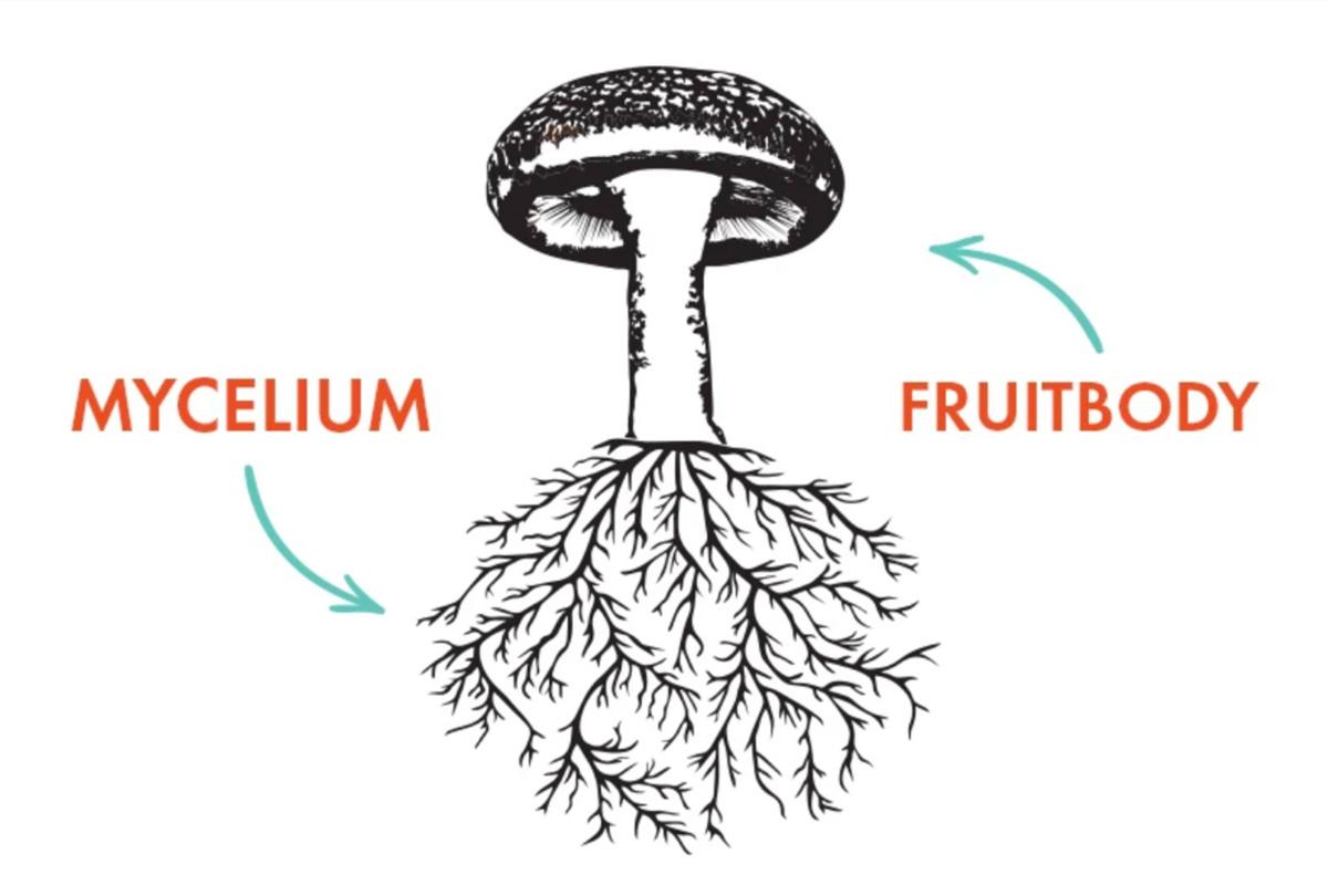 The Science of Mushroom Anatomy: Mycelium & the Fruitbody– Host Defense  Mushrooms