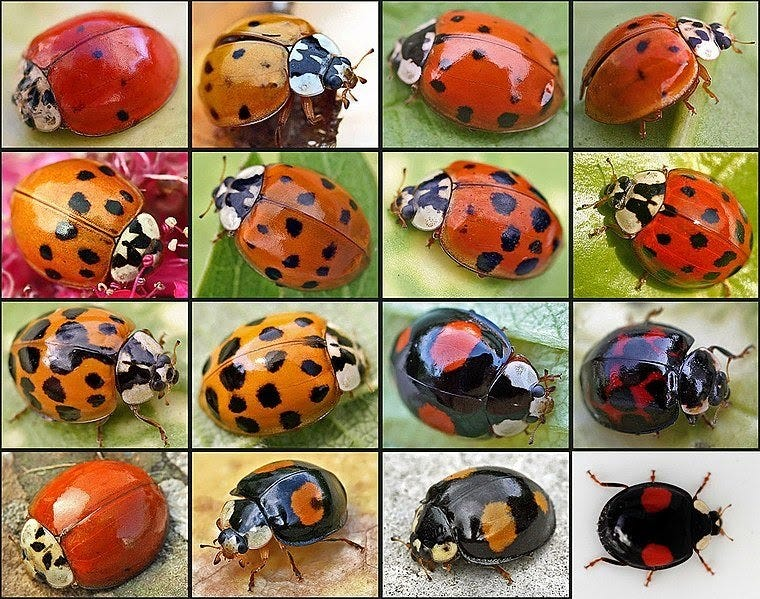 """4x4 grid of lady beetles with color variations -- spotted red, spotted orange, solid red and spotted black, several displaying the distinctive """"W"""" of a Wario beetle."""