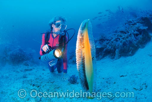 Sea Pen Stock Photos, Pictures and Images