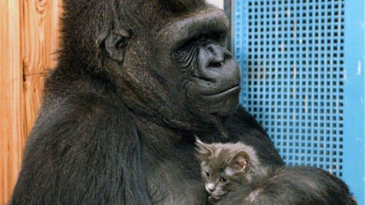Dr. Goodall Remembers Koko the Beloved Gorilla