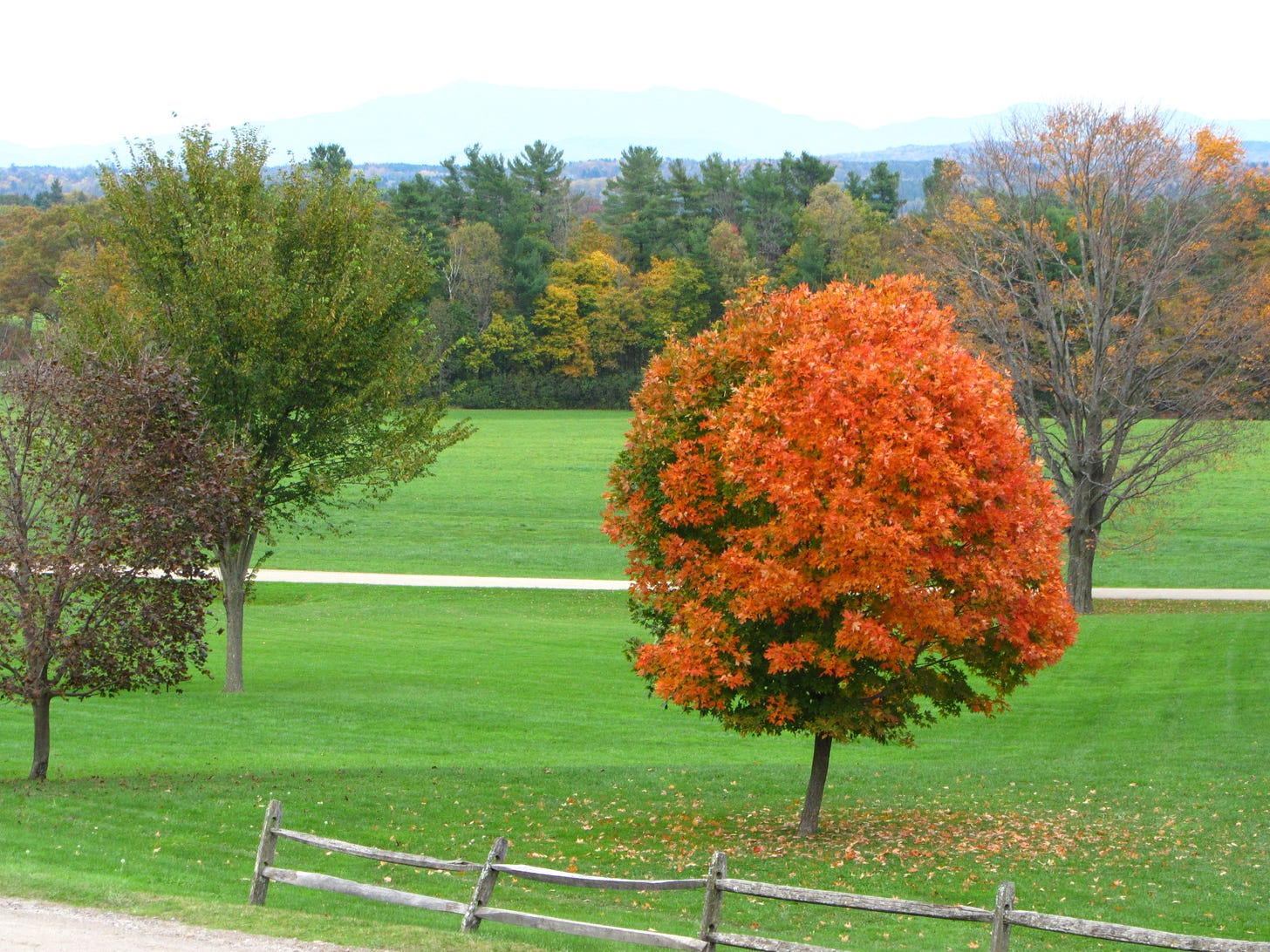 A single maple tree in full autumn color