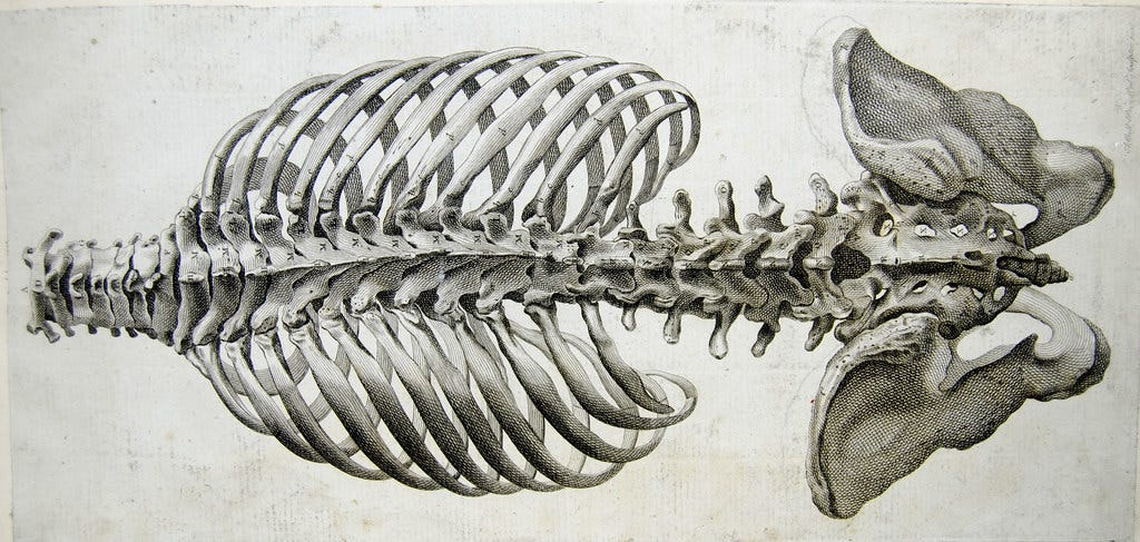 An anatomical drawing of a human spine, ribcage and pelvis