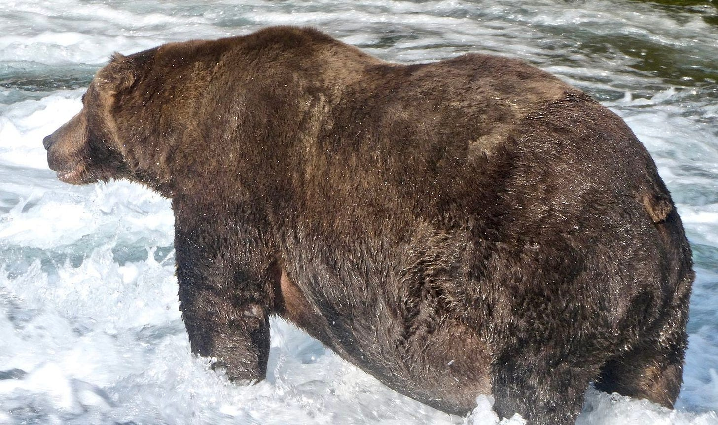 A fat brown bear standing in a river, viewed from behind.