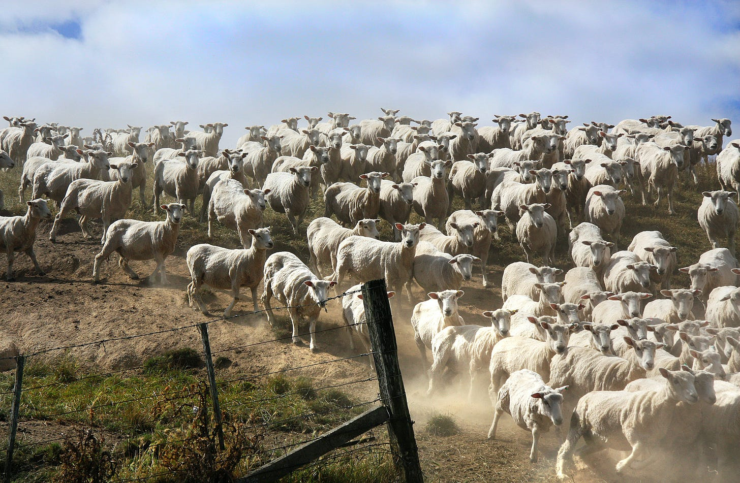 A flock of sheep running througha gap in a wire fence