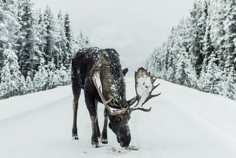 moose eating during winter