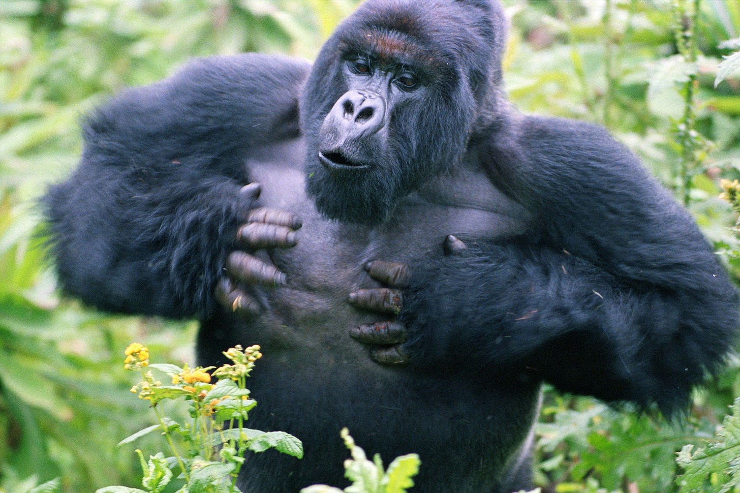 The shocking, real reason why gorillas pound their chests