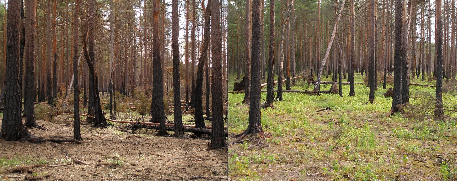 File:Boreal pine forest after fire.JPG - Wikimedia Commons