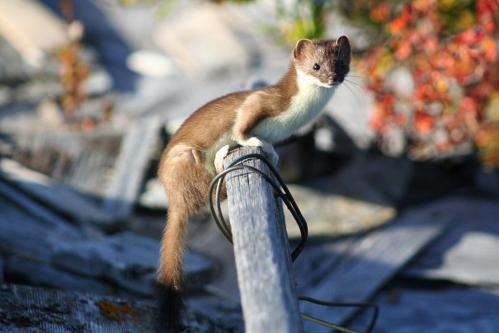 """""""Least Weasel"""" by Bering Land Bridge National Preserve is licensed under CC BY 2.0"""