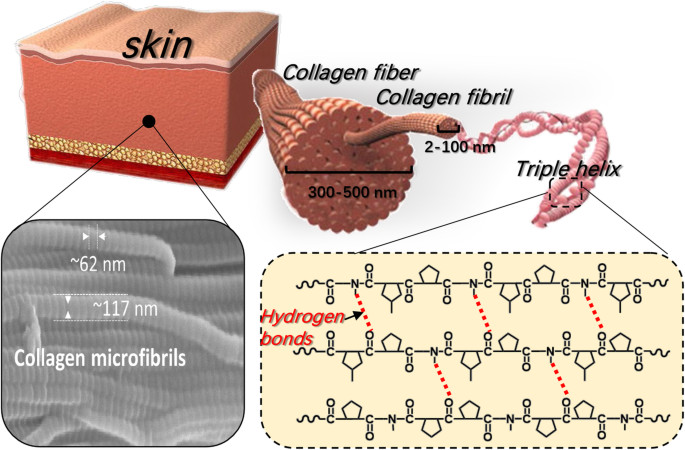 Recent advances in skin collagen: functionality and non-medical  applications | SpringerLink
