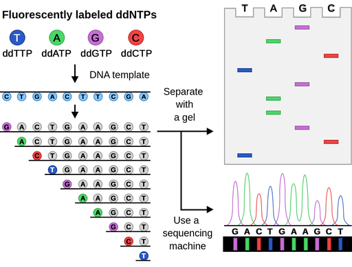 DNA sequencing - Labster Theory