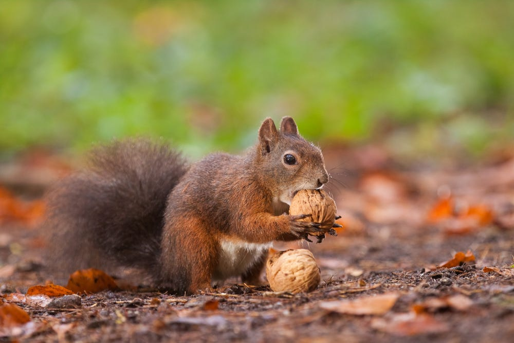 How Are Squirrels Able to Find the Nuts They Bury? – Kane County Connects