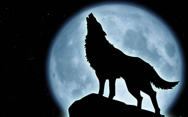 What is the scientific explanation of why a wolf howls to the moon? - Quora