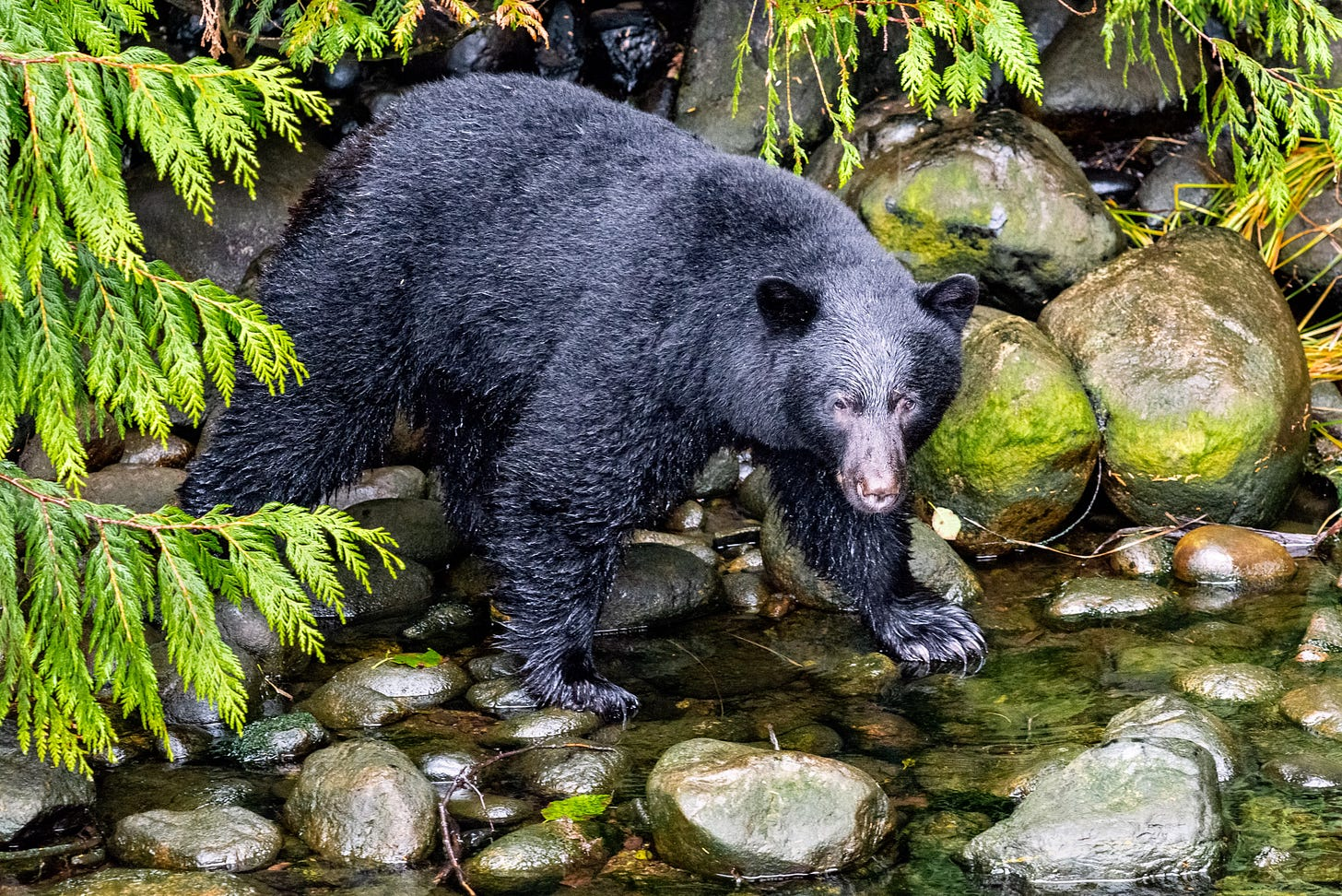 A black bear crosses a river in the forest.
