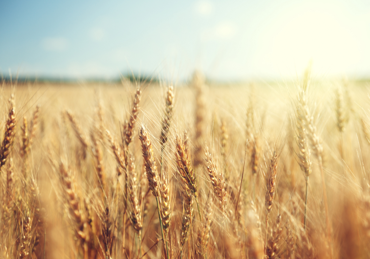 Image result for wheat in a field