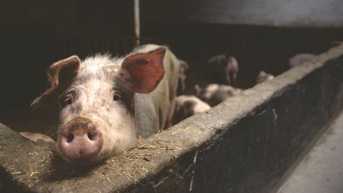 Los cerdos que valen millones: ¿qué implica el negocio entre China y  Argentina? - Sputnik Mundo