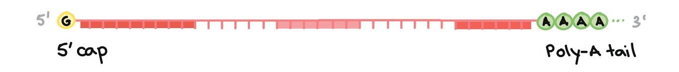 Image of a pre-mRNA with a 5' cap and 3' poly-A tail. The 5' cap is on the 5' end of the pre-mRNA and is a modified G nucleotide. The poly-A tail is on the 3' end of the pre-mRNA and consists of a long string of A nucleotides (only a few of which are shown).