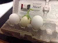 A white eggplant alongside two hen's eggs, which it looks very similar to