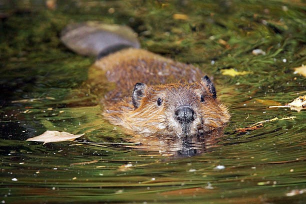 1,089 Beaver Swimming Stock Photos, Pictures & Royalty-Free Images - iStock