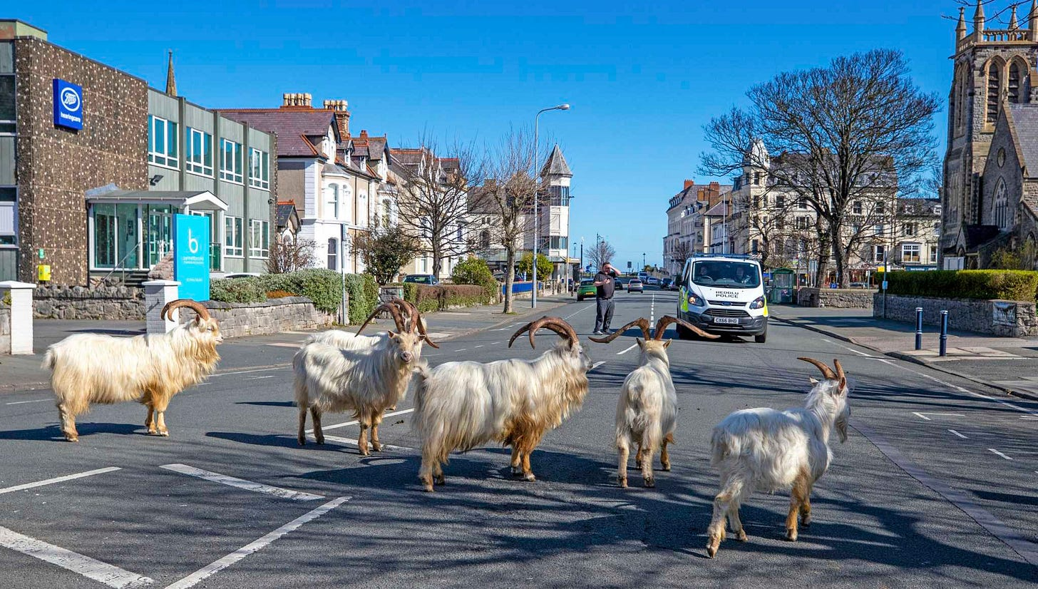 Goat invasion takes over Welsh town as people are on coronavirus ...