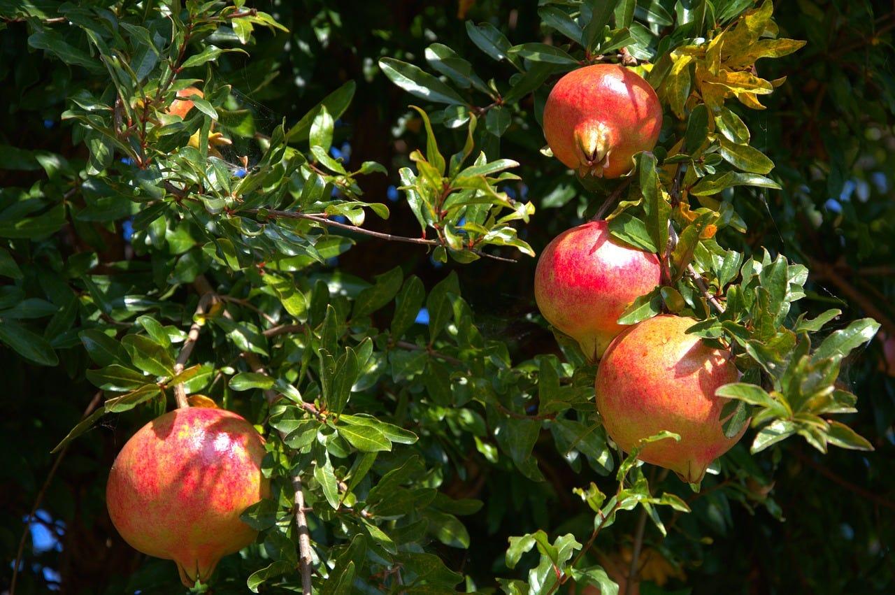pomegranate fruit tree free photo