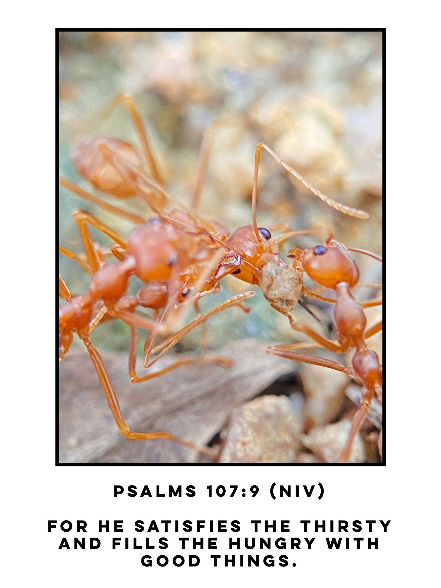Close up of two red ants carrying food in their mouth. Bible verse Psalms 107:9 NIV for he satisfies the thirsty     and fills the hungry with good things.