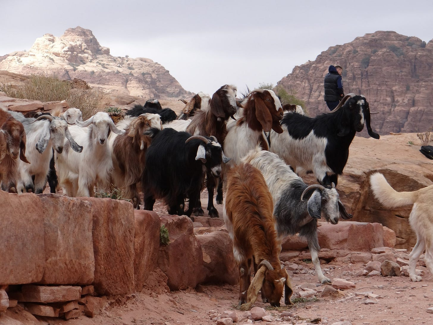 A group of goats on a rock outcrop in a desert, along with a human.