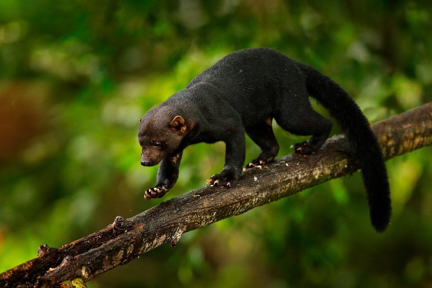 Tayra in Costa Rica, photo by Ondrej Prosicky