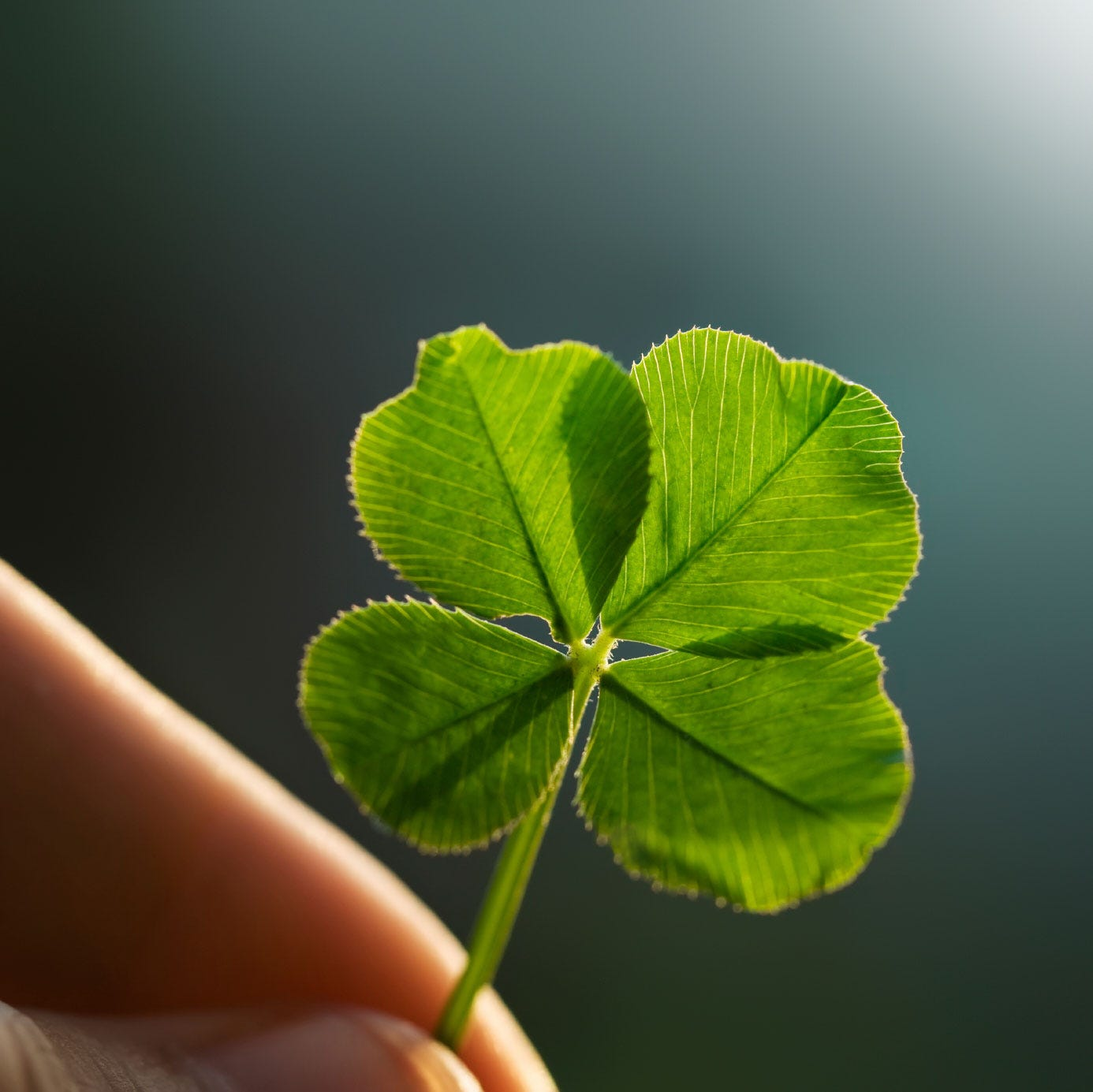 About Four Leaf Clovers - Reasons For Finding A Clover With Four Leaves