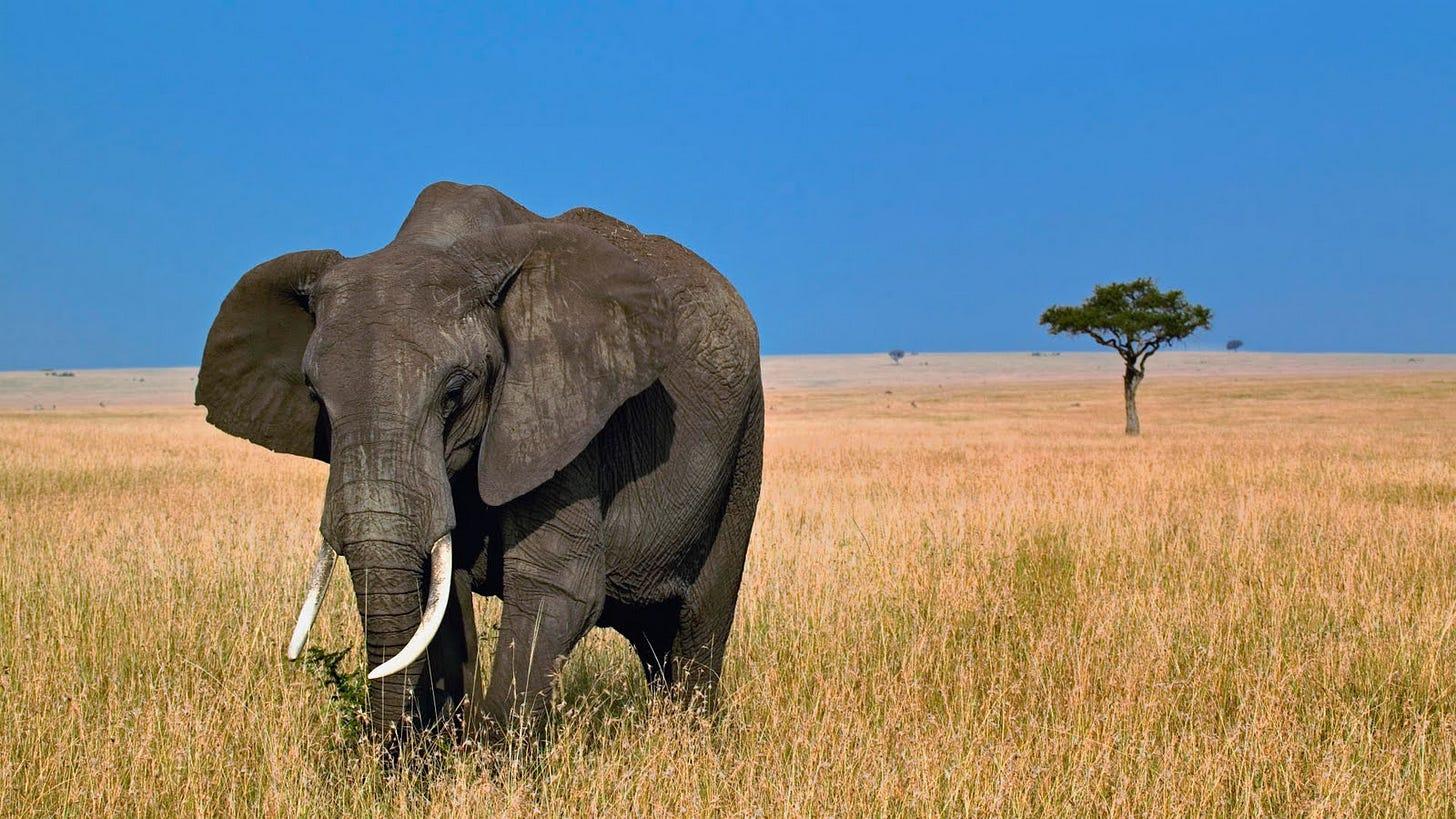 Grazing African Elephant, Masai Mara, Kenya-729639
