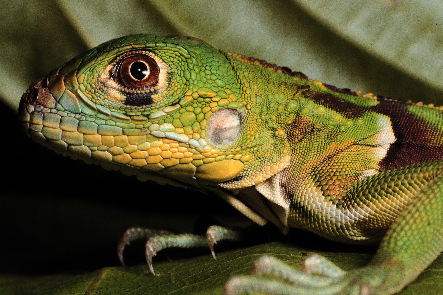 Lizards are real. Lizard people are not.