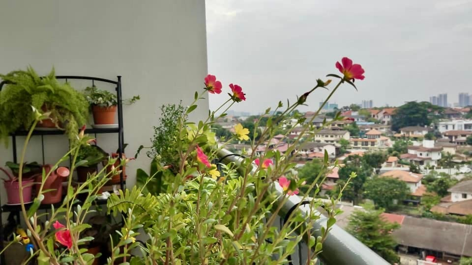 photo a pink and yellow coloured Japanese flowers on a balcony, facing towards the sun