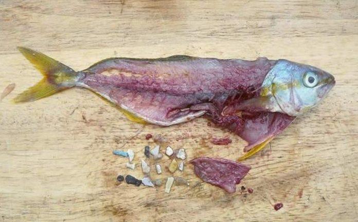 Plastic in Fish - Solve Oregon Plastic Problem