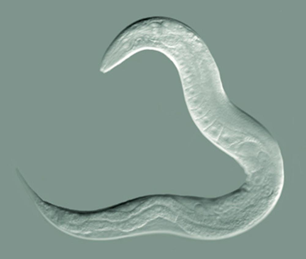 Animals in research: C. elegans (roundworm)