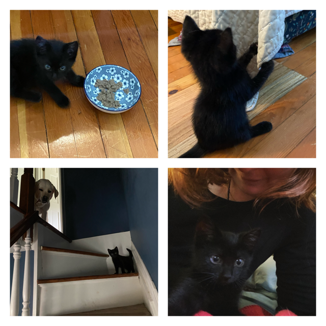 Four photos: A teeny black kitten next to a blue and white floral bowl with food it it. A teeny black kitten scratching a coverlet. A yellow lab peering down from the top of a staircase at a black kitten, who is standing a couple steps down, peering down at the camera. A black kitten against my black shirt looks into the camera; my lower face and hair are visible.