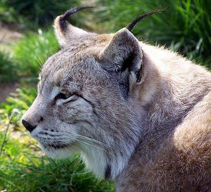 Iberian-lynx-picture