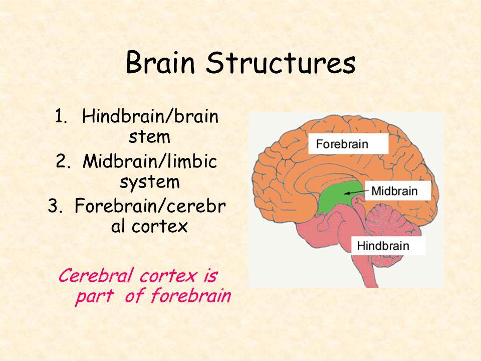 The Brain Unit 3 B. - ppt video online download