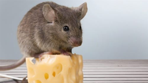 Small cute mouse sitting on top of an even smaller Swiss cheese