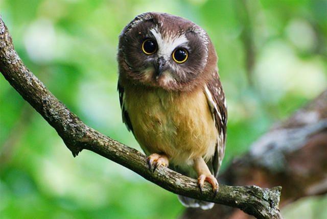 Baby Birdorable: Saw-whet Owl in Baby Birds, Owls