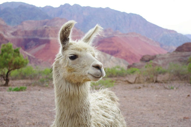 Why llamas may be the key to help humans fight the flu ...