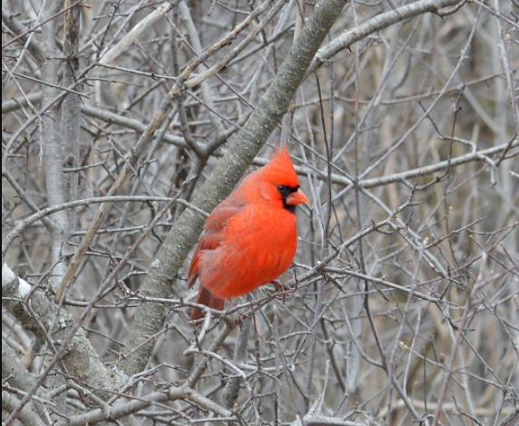 Bright red male cardinal against bare gray-brown winter shrub