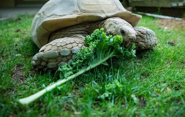 Ending your week with this tortoise eating kale, because why not.