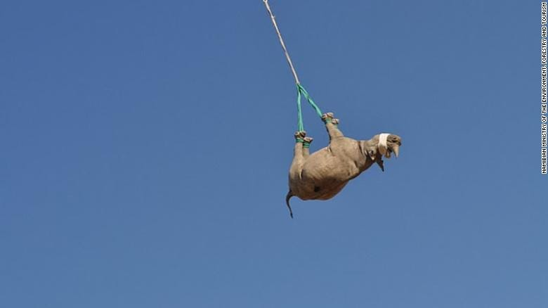 """To move critically endangered black rhinos away from poaching hotspots, conservationists sometimes airlift them upside down. While it might look uncomfortable, a <a href=""""https://meridian.allenpress.com/jwd/article-abstract/doi/10.7589/2019-08-202/451340/THE-PULMONARY-AND-METABOLIC-EFFECTS-OF-SUSPENSION"""" target=""""_blank"""">recent study</a> has revealed that this practice is better for rhino health than lying them down on stretchers. <br /><strong>Scroll through the gallery to learn more about upside-down rhino translocation.</strong>"""