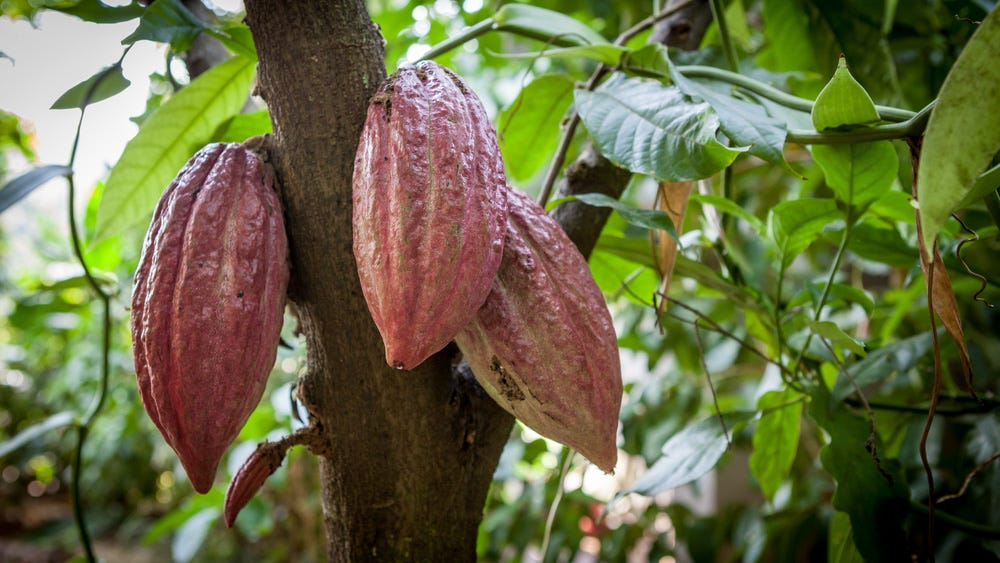 Image result for cacao tree