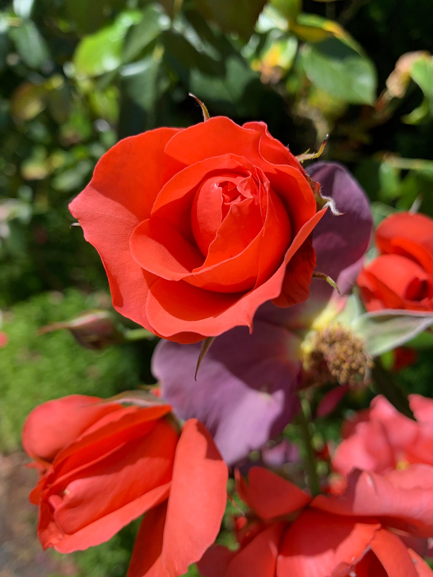 A red rose blooms against a green background.