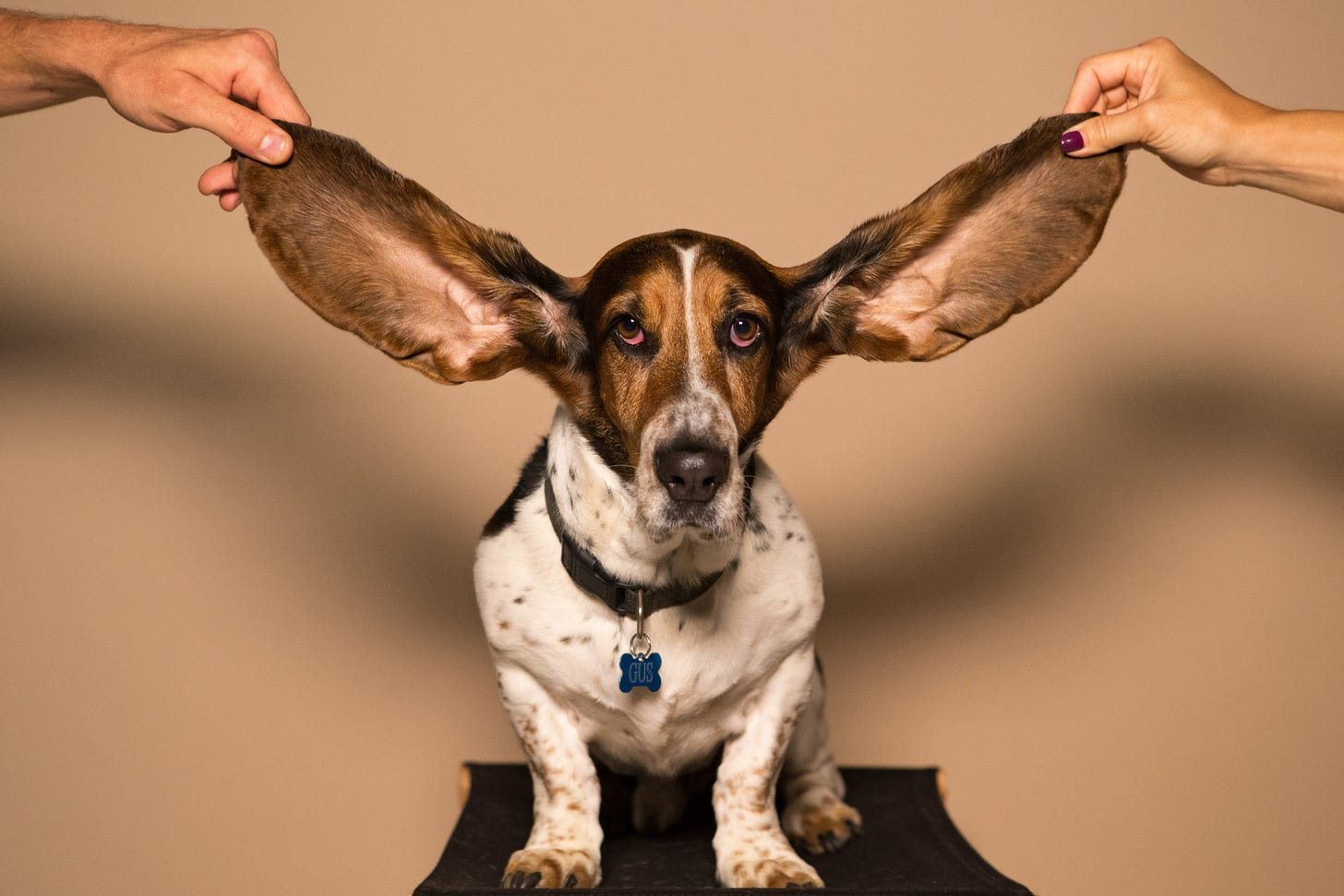 Dog with big ears held up by human hands