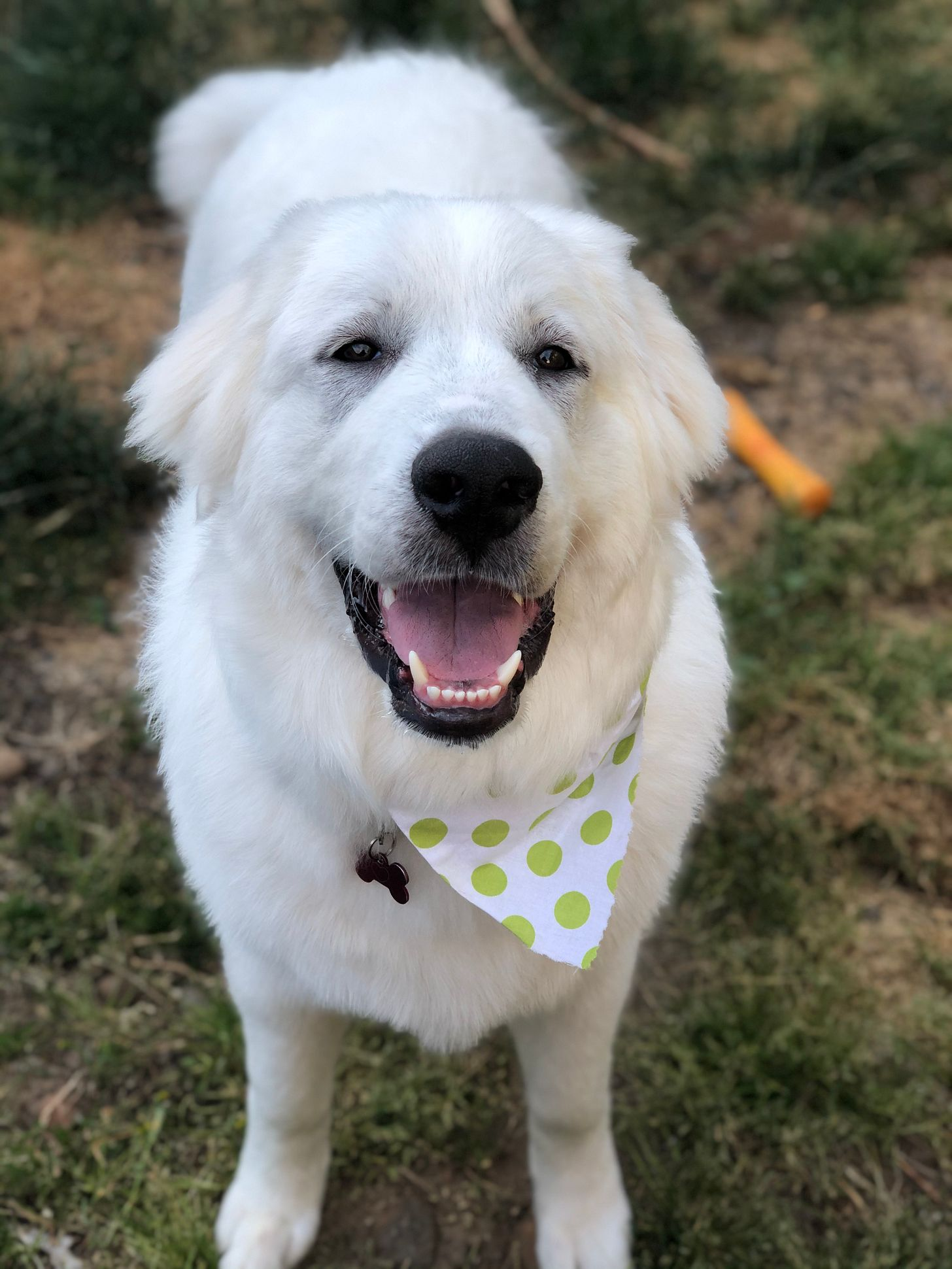 a large fluffy white Great Pyrenees puppy smiles at the camera
