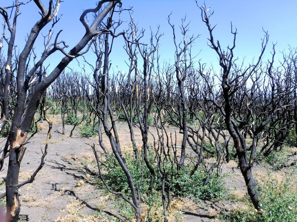 Burned scrub oak