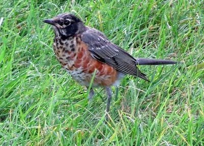 Young robin in the grass has a breast and throat with white and black patches, with some orange growing in.