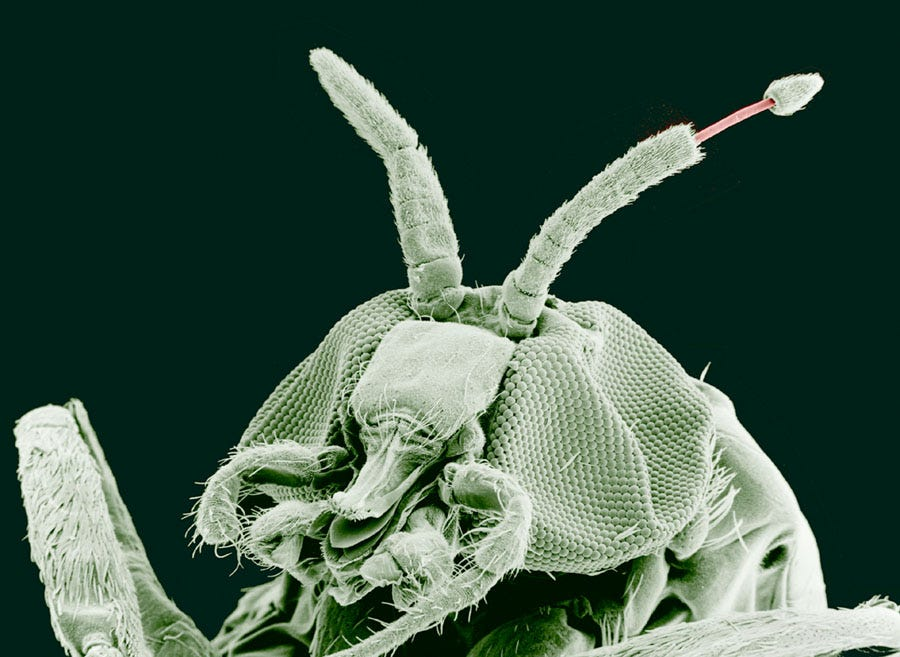 The parasite that causes river blindness, emerging from a black fly